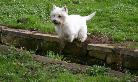 Healthy Critters 37 by Biostar US – Whole Food Transition, Ulcer Sensitivity, Hewidg's Here To Help, Westie