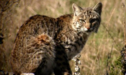 Healthy Critters 43 by Biostar US – What Makes A Good Vet, Chia or Flax, Bobtail Cats and Bobcats